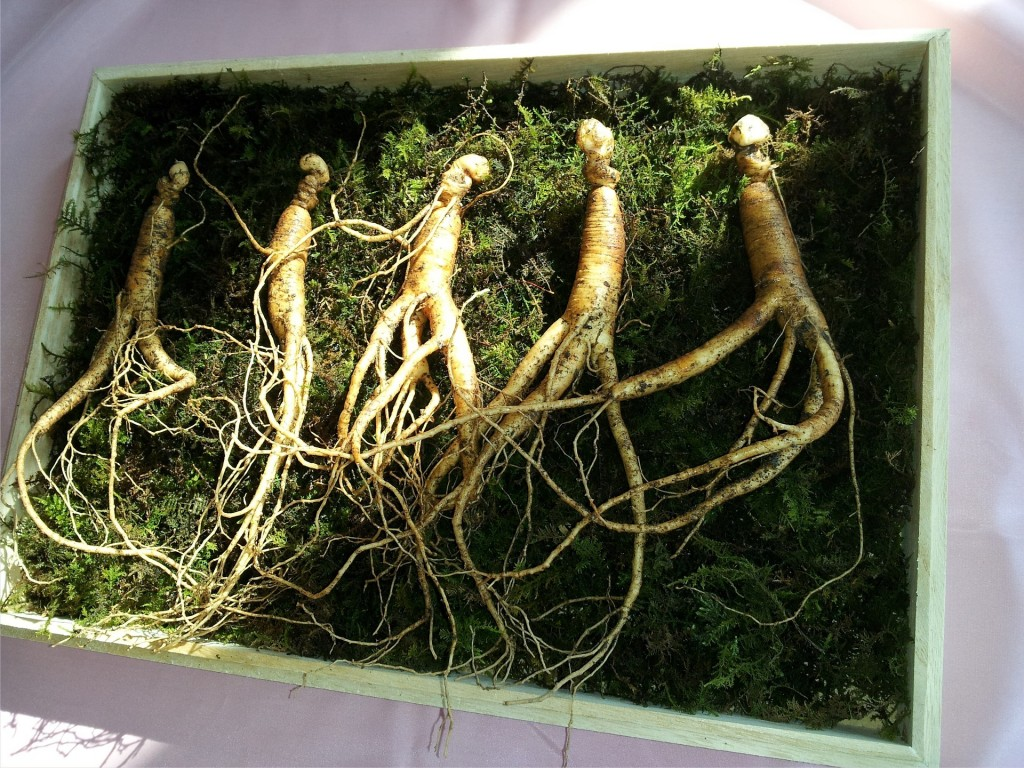 natural aphrodisiac raw ginseng plants in a wooden basket